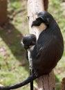 Scimmia della femmina adulta con il bambino Immagini Stock Libere da Diritti