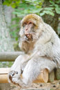 Scimmia di macaque verde con l'espressione human-like Immagine Stock Libera da Diritti