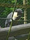 Scimmia dietro le corde Immagini Stock Libere da Diritti