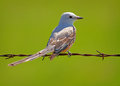 Scissor tailed flycatcher a perched on a rusty barbed wire fence Royalty Free Stock Image