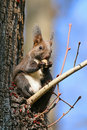 Sciurus vulgaris Royalty Free Stock Photo