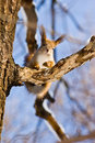 Sciurus vulgaris, Red squirrel (Eurasian) Stock Image