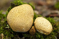 Scleroderma citrinum two young mushroom on moss Stock Photos