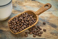 Scoop of coffee beans rustic against a grunge painted wood background Stock Images