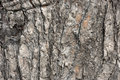Scorched pine bark after fire in forest background texture Royalty Free Stock Photo