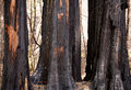 Scorched trees after forest fire Royalty Free Stock Photo