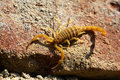 Scorpion Royalty Free Stock Photo