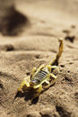 Scorpion on desert sand Stock Image