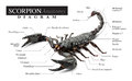 Scorpion diagram Royalty Free Stock Photo