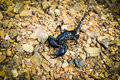 Scorpion emperor black on ground rock Stock Photography
