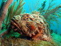 Scorpion Fish Royalty Free Stock Image