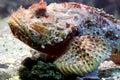 Scorpion Fish 5 Royalty Free Stock Photos