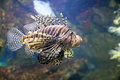 Scorpion fish a is swimming in the deep water Stock Photo