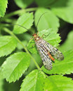 Scorpion Fly Royalty Free Stock Image
