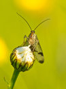 Scorpion fly portrait Stock Photos