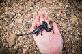 Scorpion in hand emperor black Stock Photography