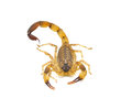 Scorpion isolated on white background Stock Photos