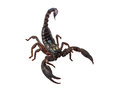 Scorpion Pandinus imperator isolated on white. Royalty Free Stock Photo