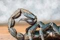 Scorpion stinger Royalty Free Stock Photo