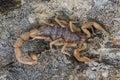 Scorpione di buthus occitanus di scorpione Fotografie Stock Libere da Diritti