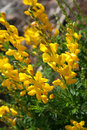 Scotch broom Stock Image