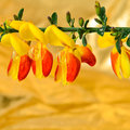 Scotch Broom Cytisus scoparius flower Royalty Free Stock Photo