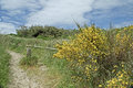 Scotch broom on the path wild growth of is taking over hillside and encroaching into foot to beach Royalty Free Stock Images