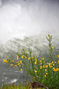 Scotch broom plant blooming in front of waterfall this is a yellow a large with the mist rising up behind this beautiful nature Royalty Free Stock Photography