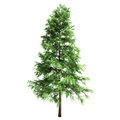 Scotch fir tree isolated on white Royalty Free Stock Images
