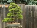 Scotch Pine Bonsai Royalty Free Stock Photo