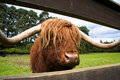 Scotland highland cattle Royalty Free Stock Photo