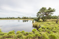 Scots pine at the edge of a natural pond clumps grass and tree growing on water lake with mirror smooth surface in dutch nature Stock Images