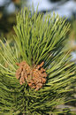 Scots Pine flowers Royalty Free Stock Images