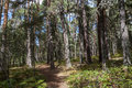 Scots Pine forest Royalty Free Stock Photo