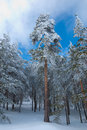 Scots pine forest in winter Royalty Free Stock Photo
