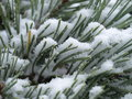 Scots pine tree with snow snowy needles Royalty Free Stock Image