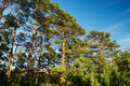 Scots or Scotch pine Pinus sylvestris trees growing in evergreen coniferous forest. Royalty Free Stock Photo