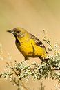 Scott's Oriole Royalty Free Stock Image