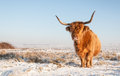 Scottisch highland cow posing for the photographer red haired in winter coat standing in snowy landscape of a dutch nature area Stock Image