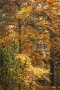 Scottish Autumnal Foliage Royalty Free Stock Photo