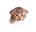 Scottish baby kitten meowing isolated Stock Photo