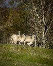 Scottish blackface sheep familly with drinking lam scotttish cute little big horns talking to me Stock Images
