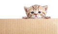 Scottish british baby kitten in cardboard box Royalty Free Stock Image