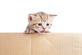 Scottish british baby kitten in cardboard box Royalty Free Stock Photos