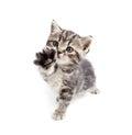 Scottish or british gray kitten gives paw Stock Photo