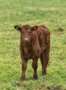 Scottish calf this is a within a field in moray scotland united kingdom Royalty Free Stock Images