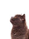Scottish cat on a white background looking up Stock Photo