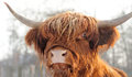 Scottish cattle Stock Photo