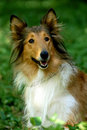Scottish collie Royalty Free Stock Photo