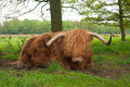 Scottish cow Stock Photo